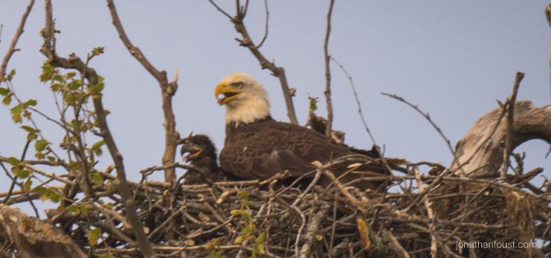 eaglet-jonathanfoust.jpg