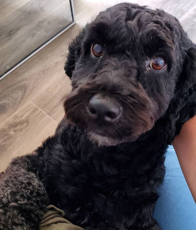 Meet the newest addition to my therapy practice!! 💜💜 Mollie is a 2 year old cockapoo that was found abandoned in the streets of Santiago, Chile. Having grown up with a black cockapoo for nearly 17 years, when I saw her picture with a plea for adoption, I knew she was the one. So far this little lady has fully captured my heart. The poor girl has certainly survived some traumas and abandonment, but it hasn't affected her ability to love and trust again. I am so honored to be that person to provide her with unconditional love, health, security, and family. She is such a sweet little babe! . . I can't wait to have her on the couch with me this week and introduce her to my therapy clients -- and to see the magic she can bring into the therapy room. . . #therapydog #rescuedog #whorescuedwho #cockapoo #cockapoosofinstagram #onlinecounseling #mentalhealth #mentalhealthwarrior #animaltherapy #expatswithdogs #onlinetherapist #senamoranlmhc