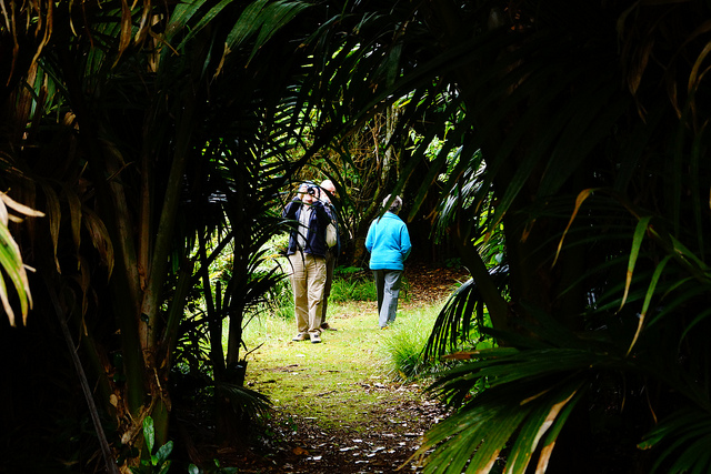 Nikau Bush Scenic Reserve - This area protects the largest stand of Nikau remaining on the main Chatham Island. The Nikau are flowering from December through to January. Walking time is approximately 1.5 hours.