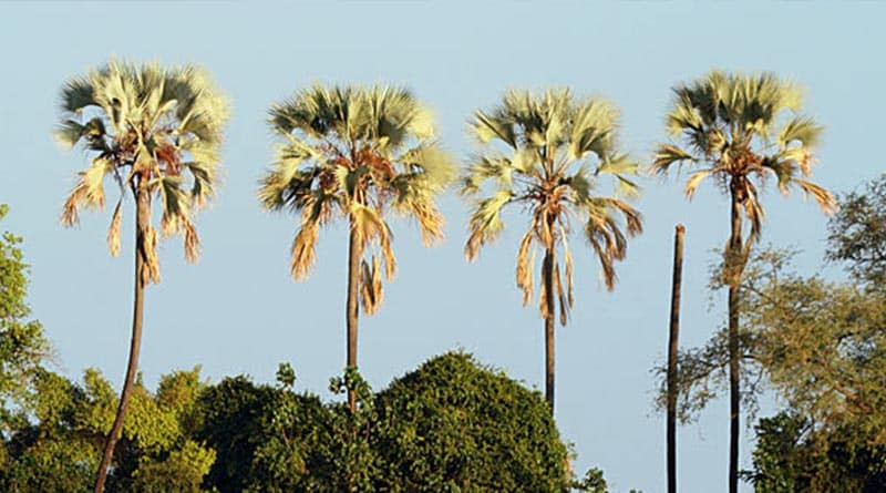 Ilala-Palms-by-River.jpg