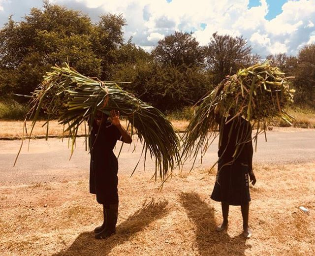 Humble Roots! @collaborative_craft_projects team hard at work during the harvesting period. The positivity and determination of the local community during trying times is second to none!  #africanartisans #africanroots #zimbabwe #community #weaving #womaninbusiness #handmade #raw #natural #africaninteriors