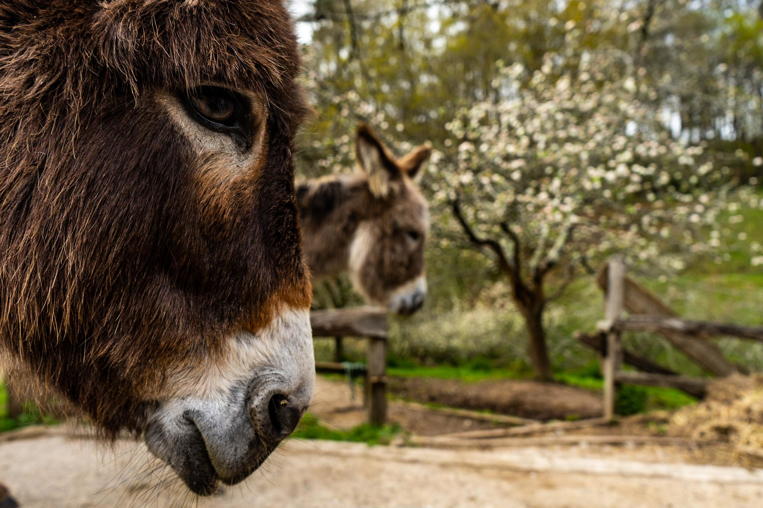Donkey Paradise - WORKING IN NORTHERN SPAIN