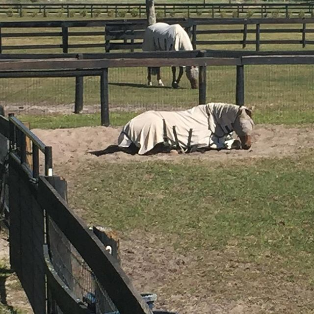Move ups are hard work! Fortunately Wizzerd and Lucky have the warm Florida sun to rest in after their Advanced debuts. #eventing #eventingsunnyfl #goeventing #kwpn