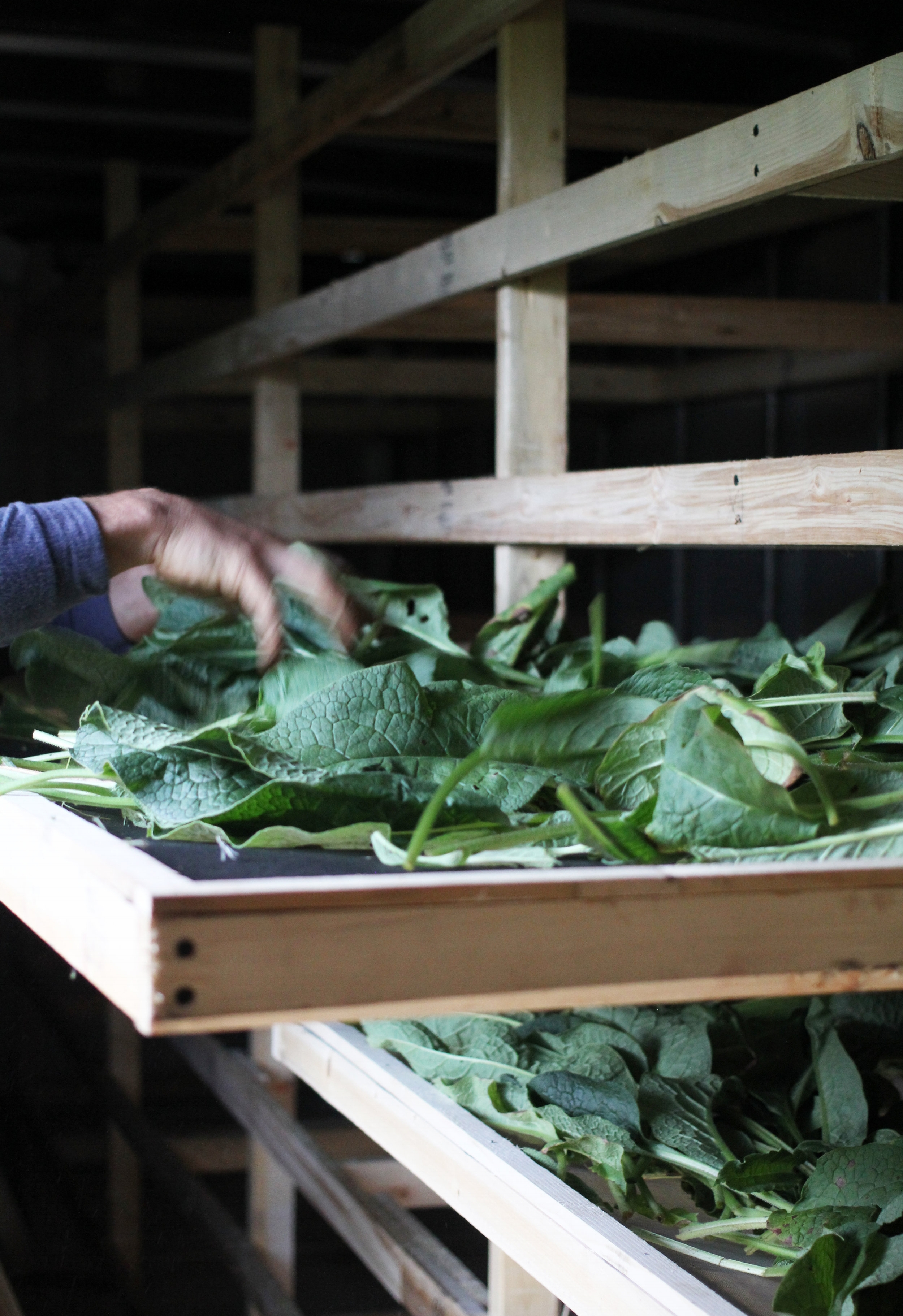 our drying shed includes 35 handmade drying racks installed in an insulated box truck. Comfrey is pictured here drying.