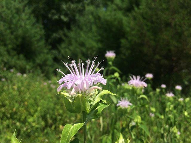 The wild one: Monarda fistulosa (bee balm) in bloom 💓
