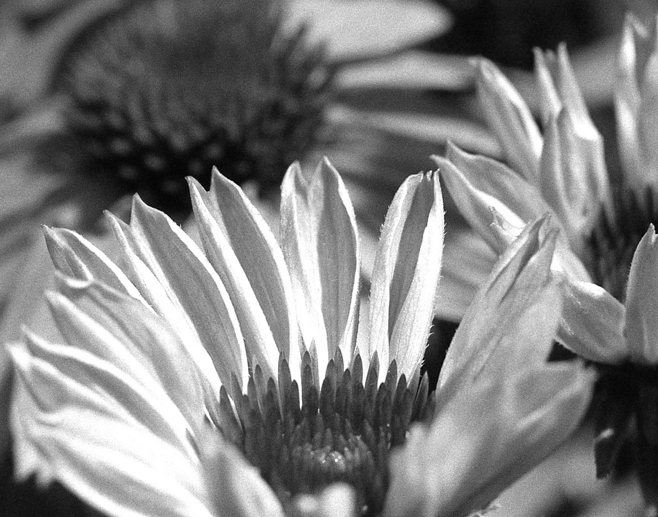 "Coneflower - Film photography printed on high quality archival paper.Available with or without 1"" Fine Art border.Available in 11x14 or 16x20"