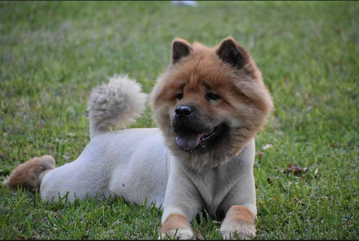 dog groomer slc shaved dog
