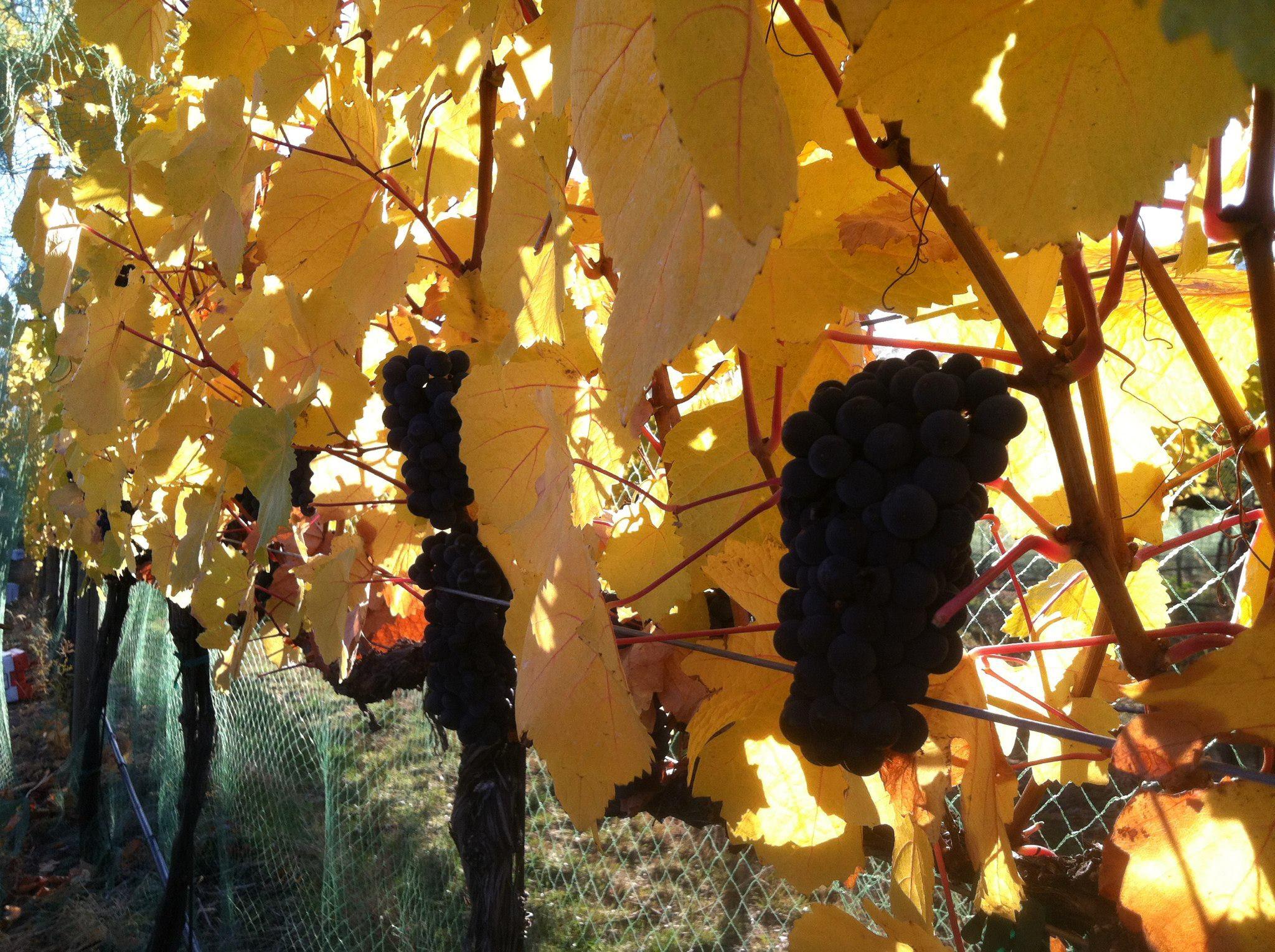 fall grapes.jpg