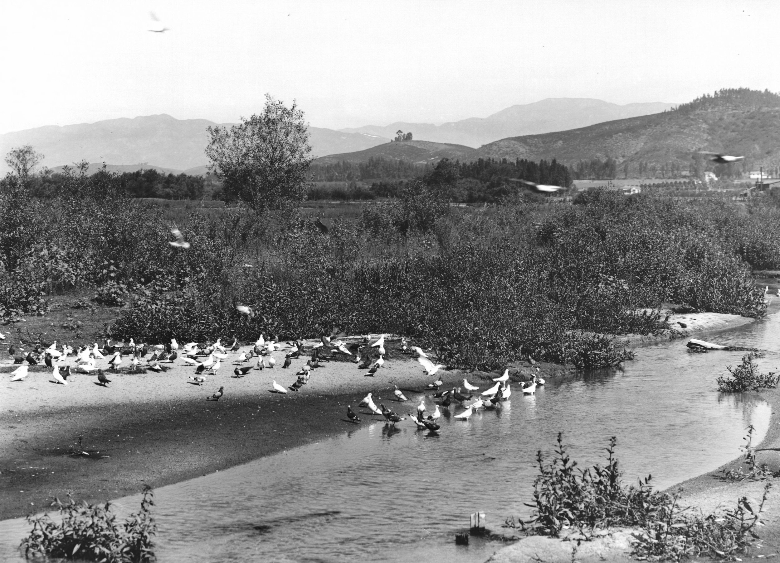 Pigeons in the Los Angeles River on a pigeon ranch. Native shrubs and bushes along the shore. Taken near Glassell Park in the western Cypress Park district of Los Angeles, just past the Riverside bridge at the junction of Verdugo Road and San Fernando Road, ca. 1900 [public domain].