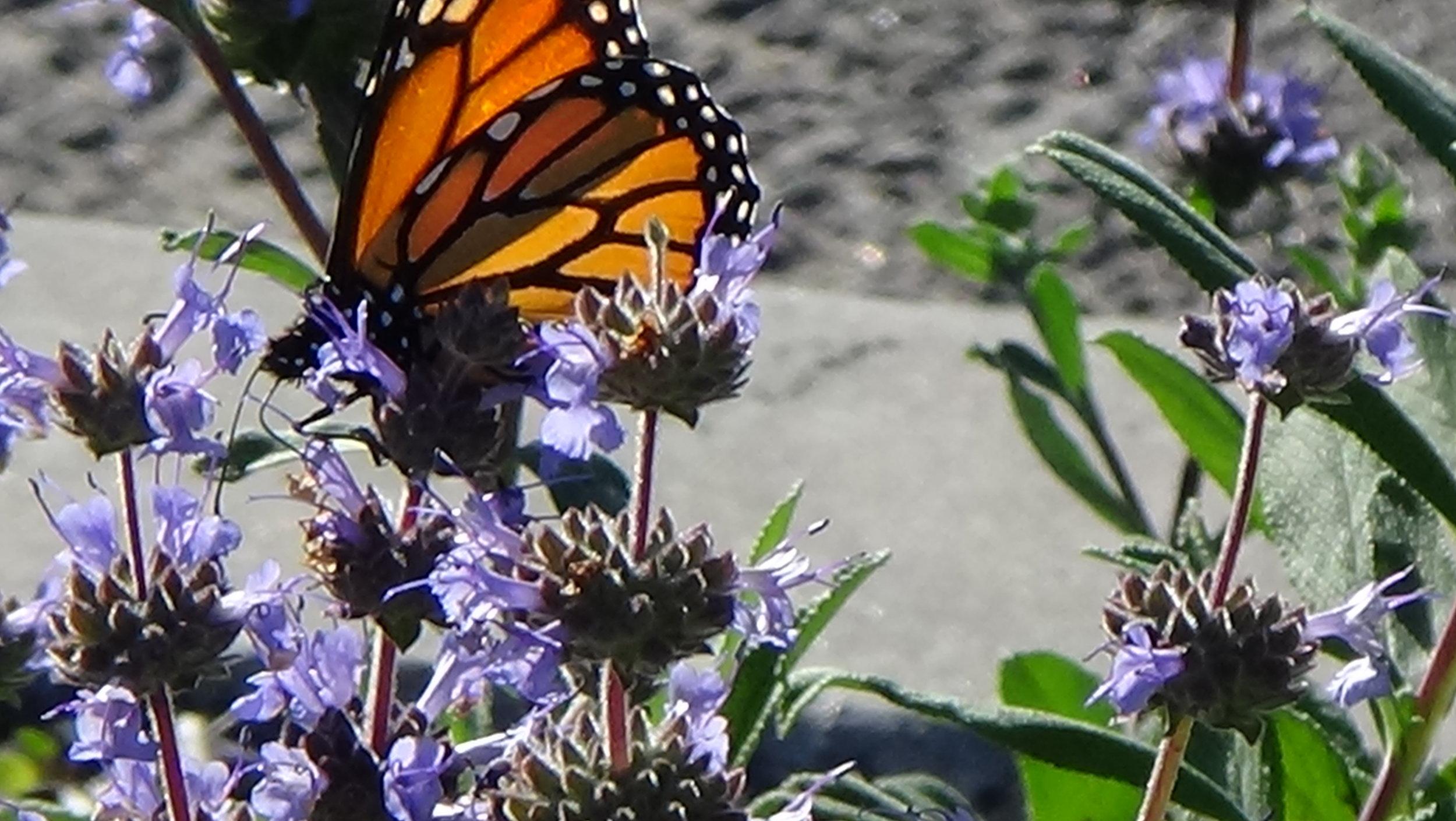 Woodman median Butterfly copy.jpg