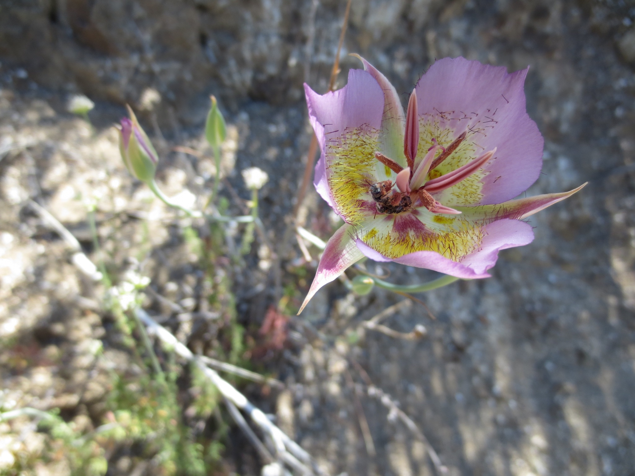 Calochortus plummerae and bee.JPG