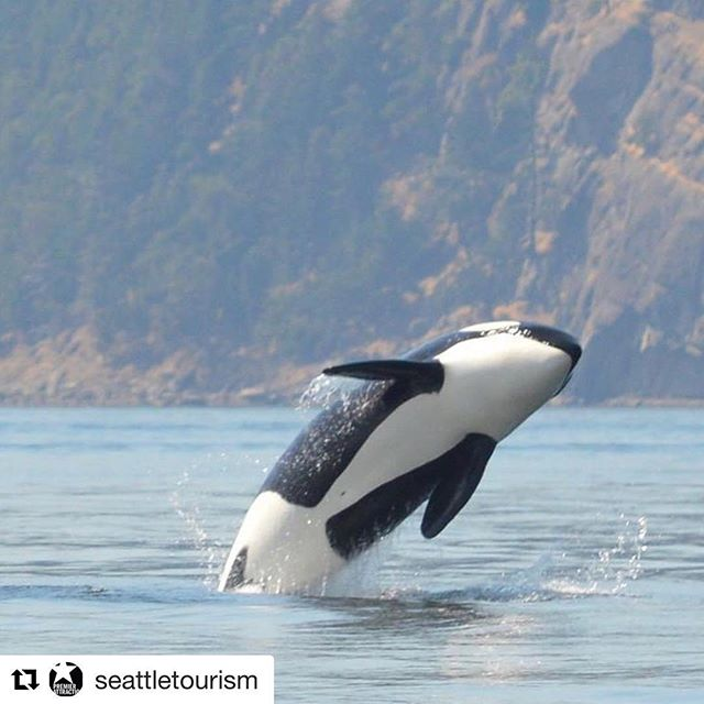 #Repost client @seattletourism! ・・・ ✨✨✨GIVEAWAY!!!✨✨✨We are giving away a pair of tickets to experience @sanjuansafaris' Adventure Whale Watch and Wildlife Tour! Cruise the waters around San Juan Island at high speeds (in a provided exposure suit for warmth!) to scout out orcas, eagles, seals, and more #northwest wildlife! To enter:  1) LIKE this post 2) FOLLOW @SeattleTourism 3) FOLLOW @sanjuansafaris  4) TAG 3 friends or family in the comment below 🏆Our winner will be announced Friday, June 8 here on Instagram. Must be 18+ to participate. 📸 / Rachel Amos . . . #enjoyseattle #seattle #sea #island #whales #travel #tourism #staycation #cruise #boating #water #views #familyfun #family #friends #havefun #play #enjoy #beauty #history #experience #orcas #whale #island #pnw #northwest #explore #eagles #eagles #downtown #sanjuan