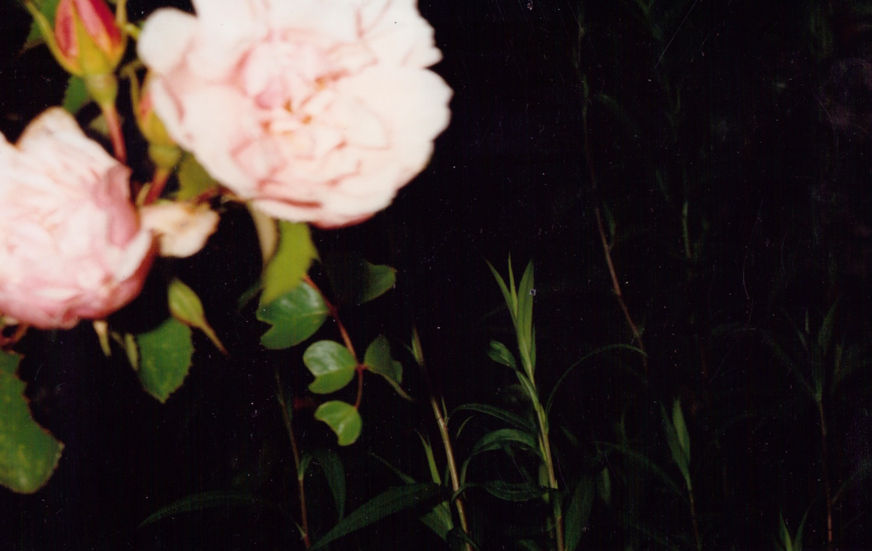 GeorginaCook_memory_scans_rose_photo_film.jpg