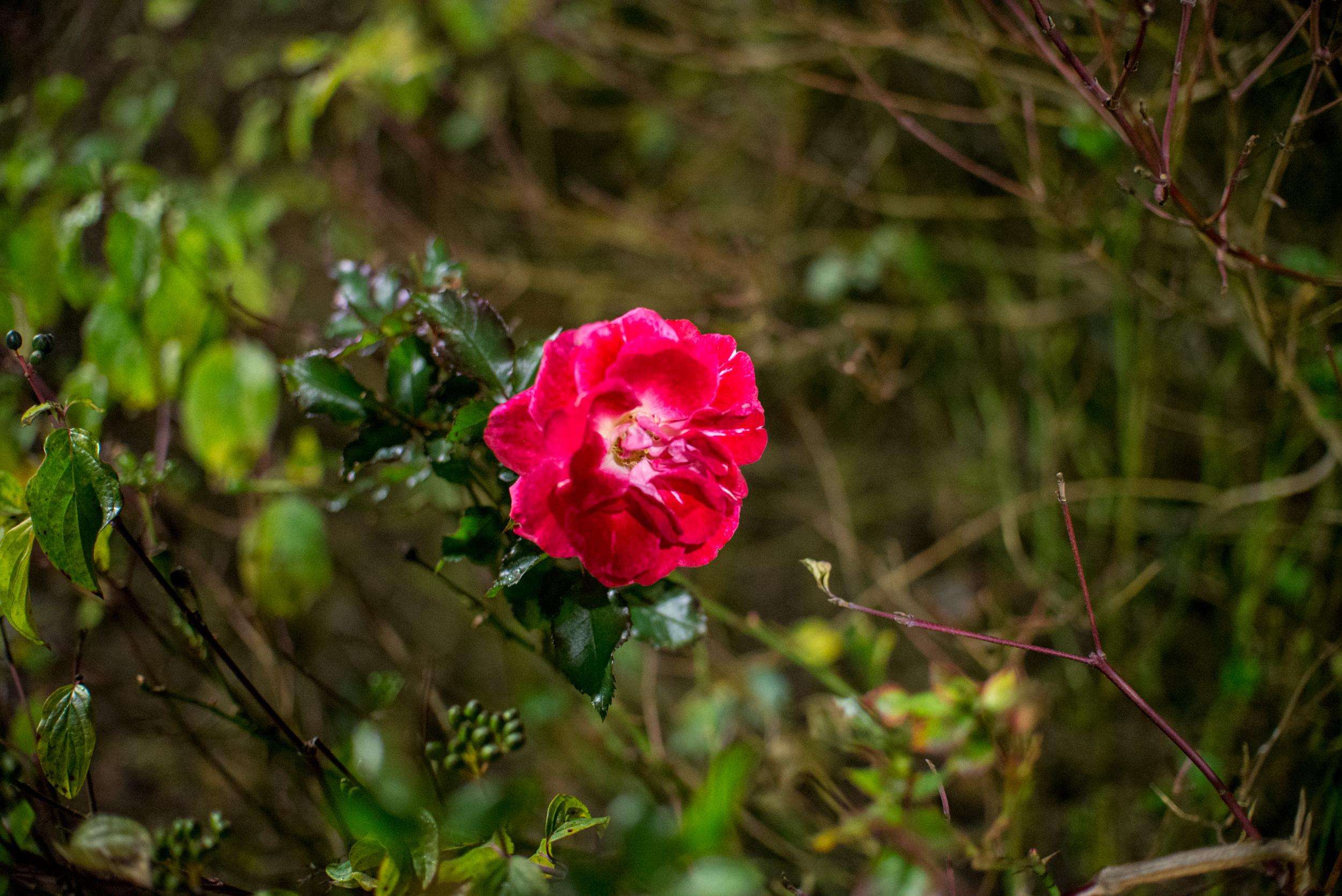 HACKNEY ROSE - JAN 2019