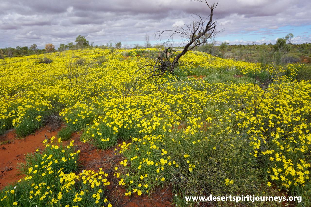 Desert flower garden Simpson Desert  Jacqui Robinsons 2016.jpg