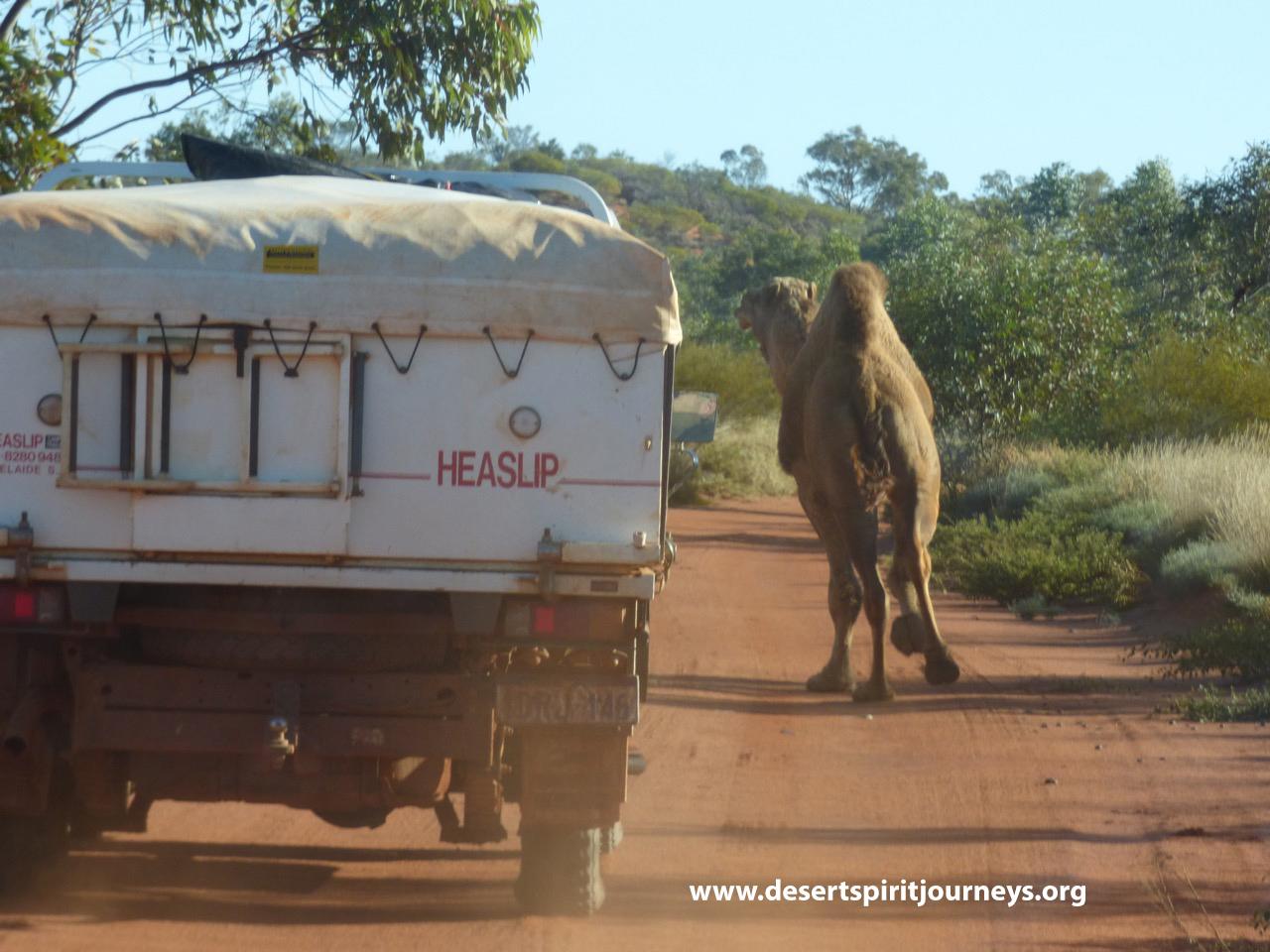 Camel on road.jpg