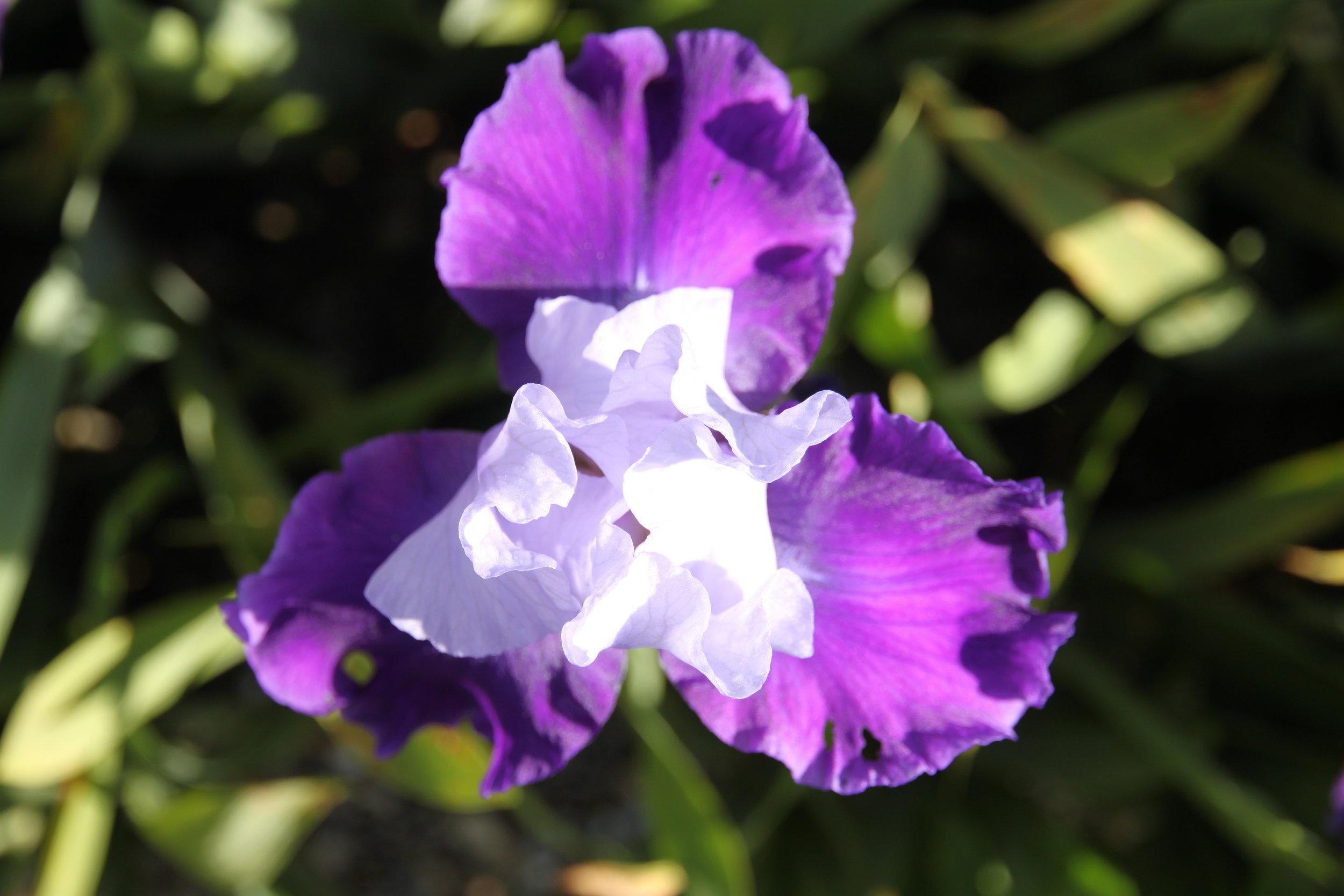 iris 'mystique'