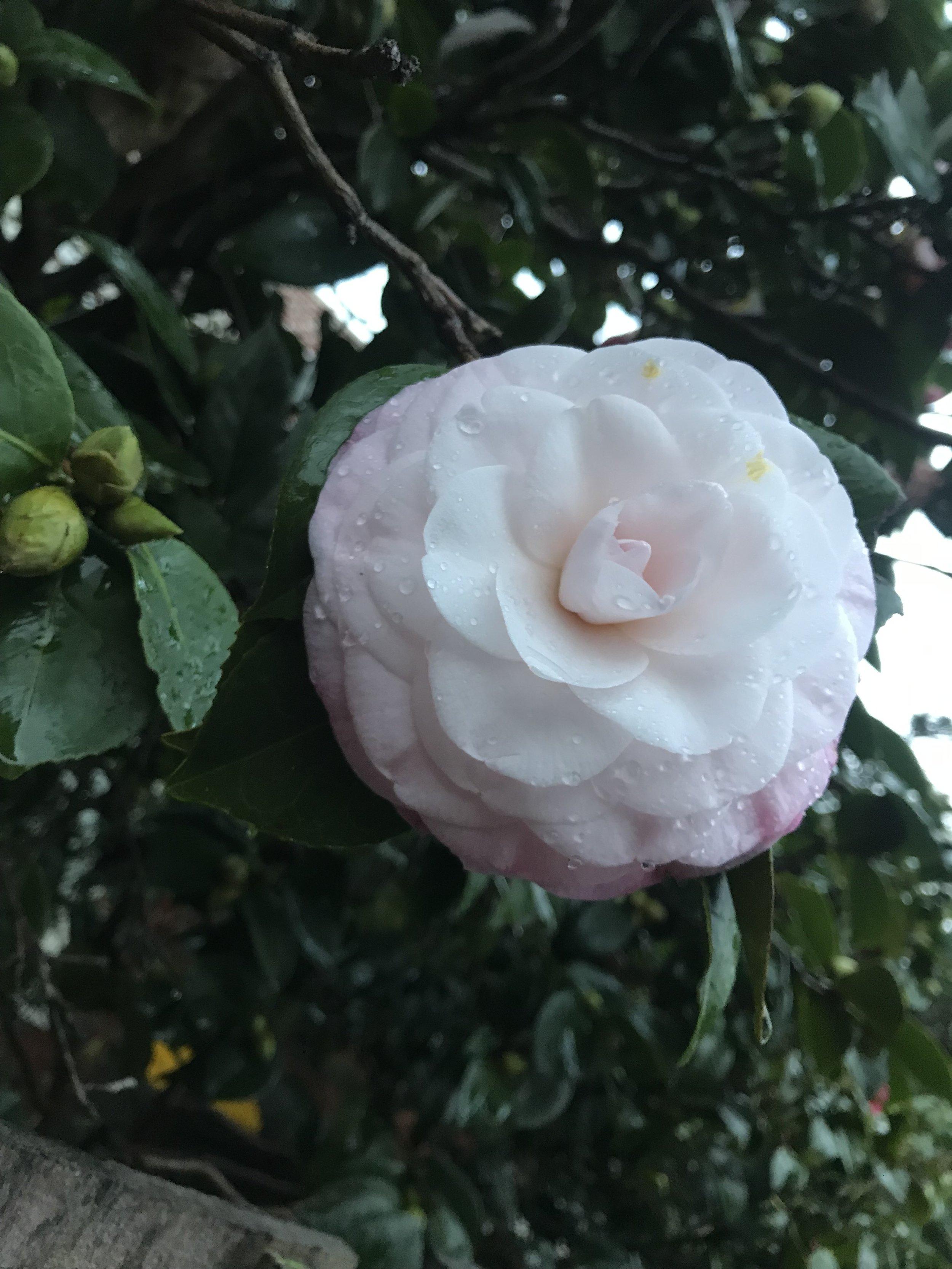 camellia 3.jpg