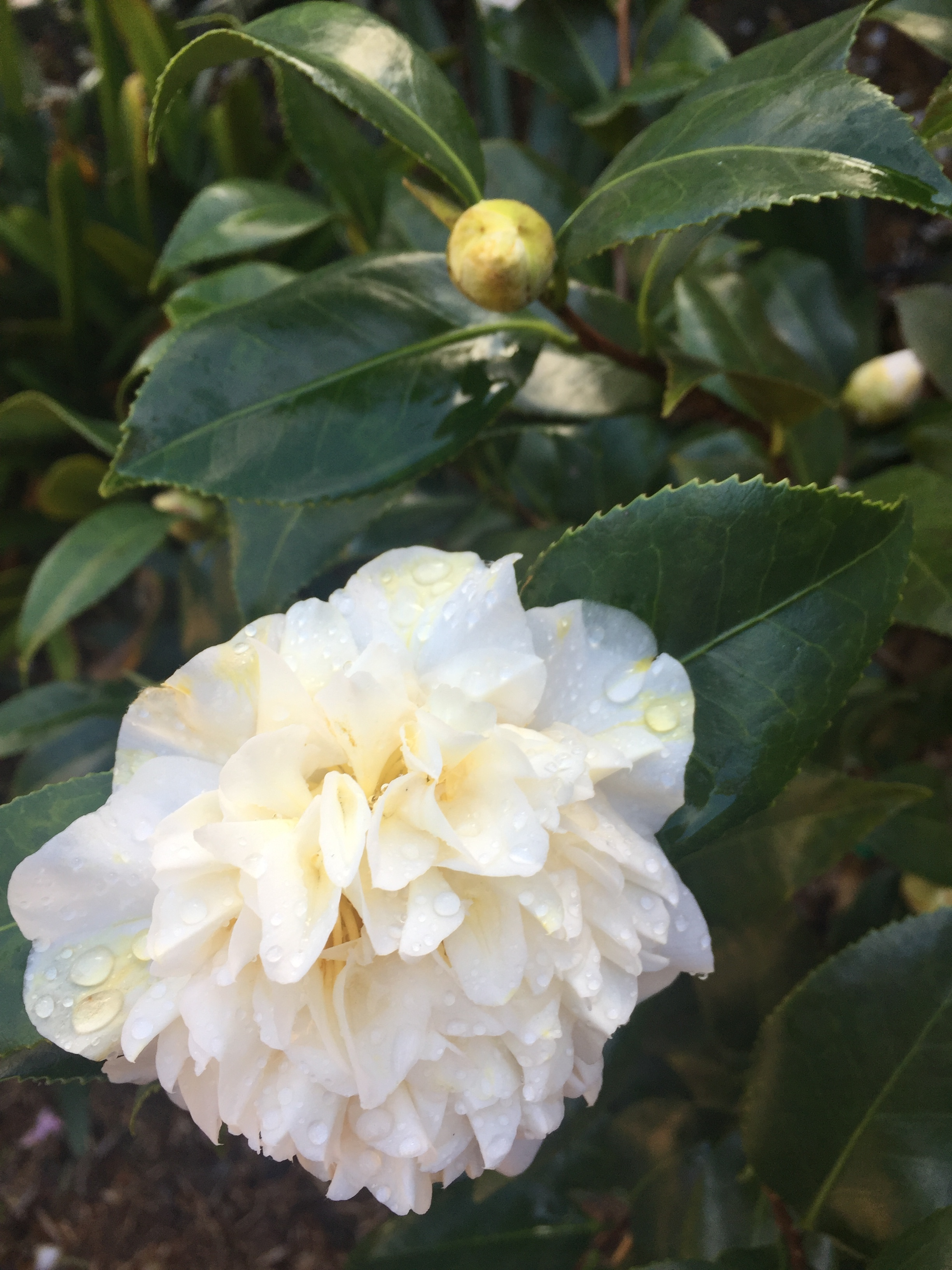 Photo taken in my Mum's garden. Camellia variety: unknown.