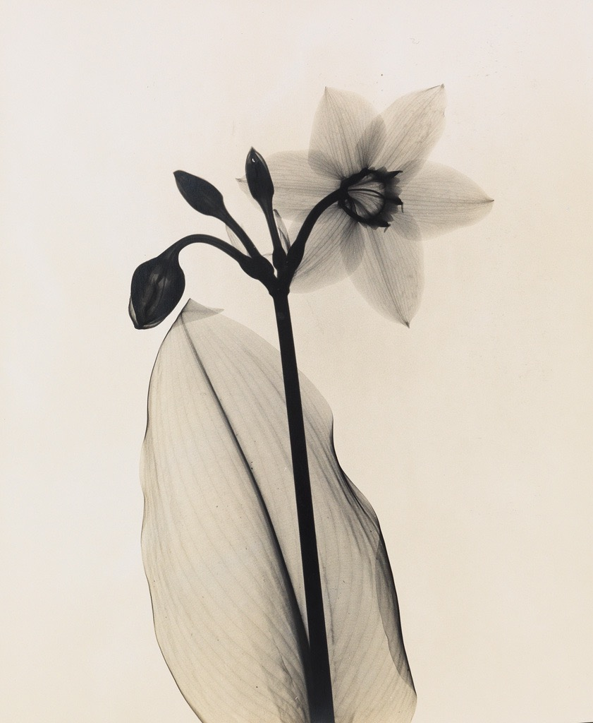 Dr. Dain Tasker (1872-1964), Amazon-Lily, Circa 1930. Silver print from an x-ray negative