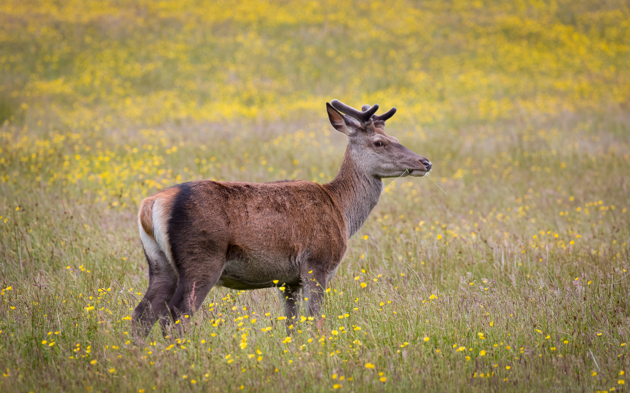Red-Deer-Isle-of-Skye.jpg