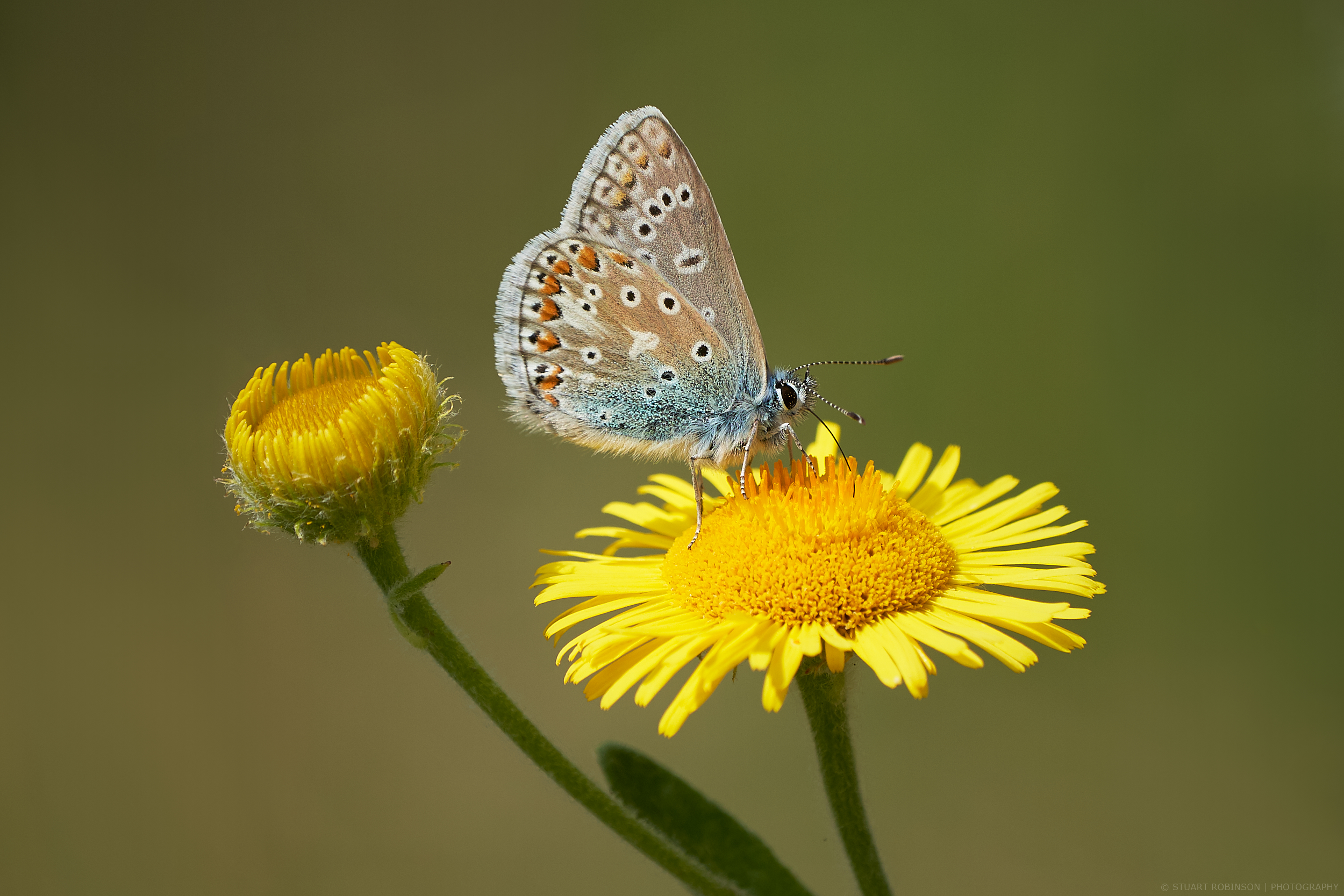 Common-Blue-Butterfly.jpg