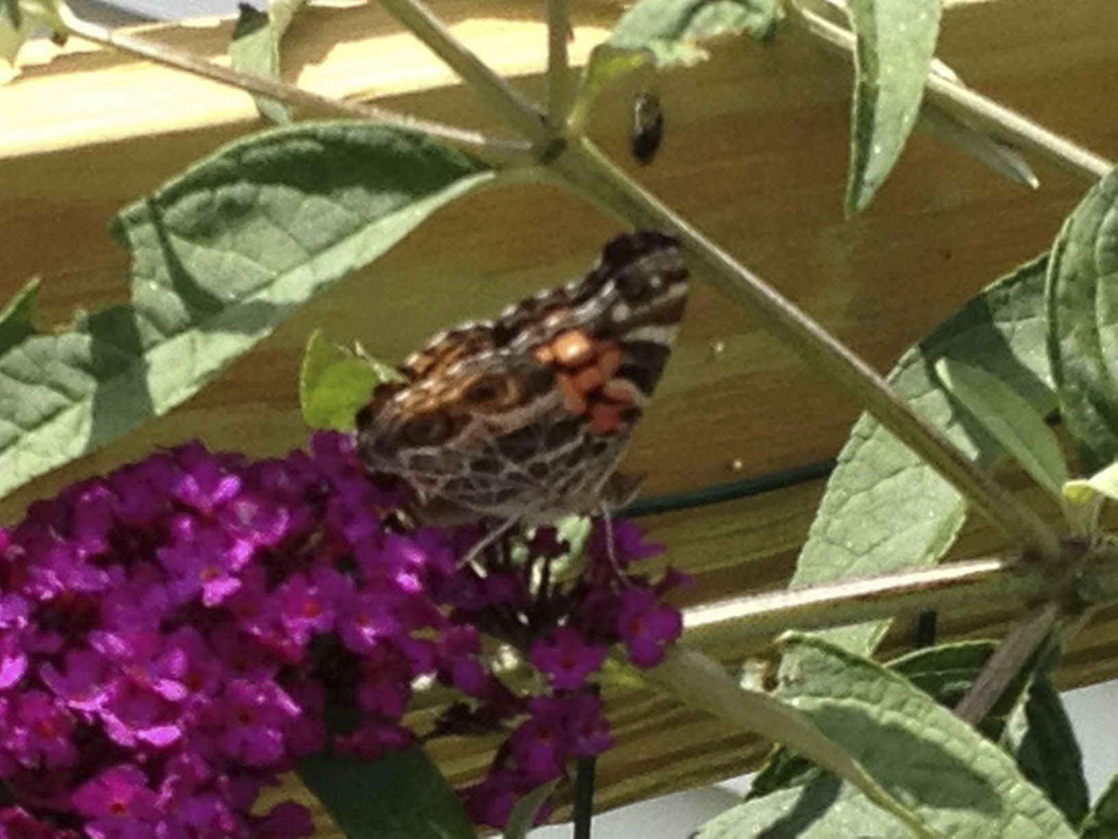 butterfly-on-the-butterfly-bush.jpg
