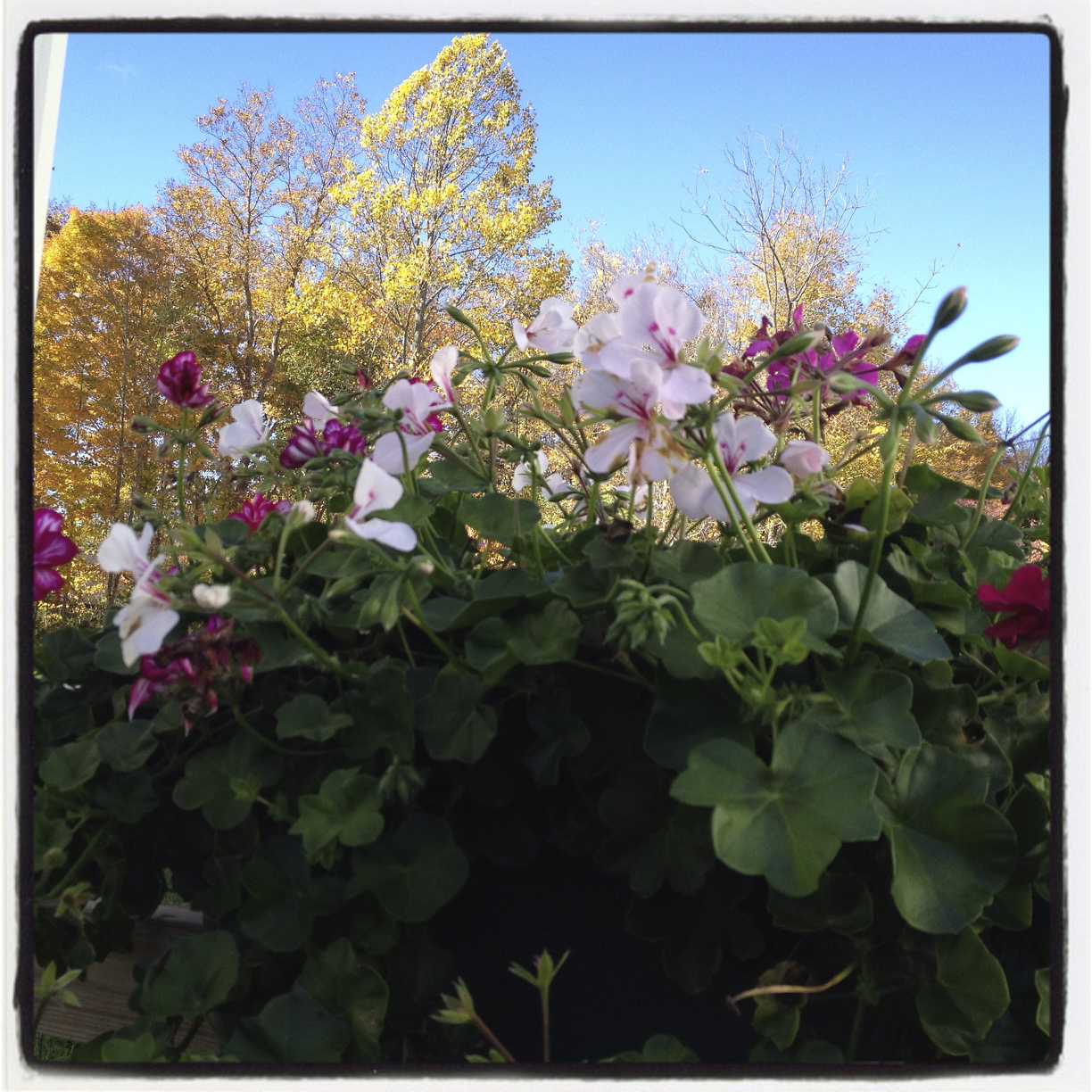 The geraniums did not get the memo that it is Fall!
