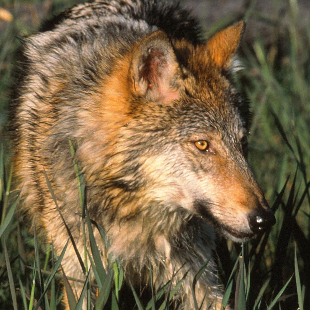Wolf-in-grass-GWsm.jpg