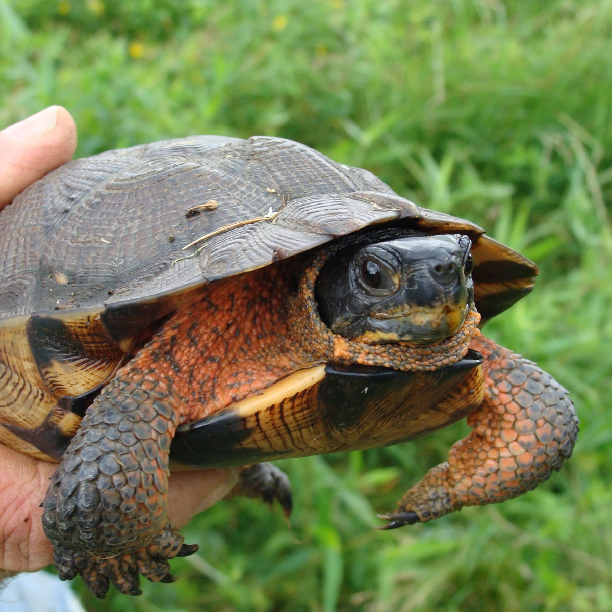 Wood-turtle-pd-USFWSsm.jpg