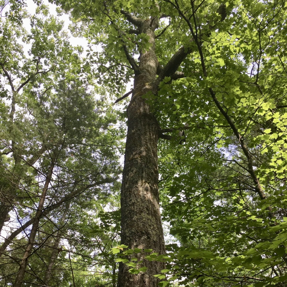 Old oak, Wendell State Forest