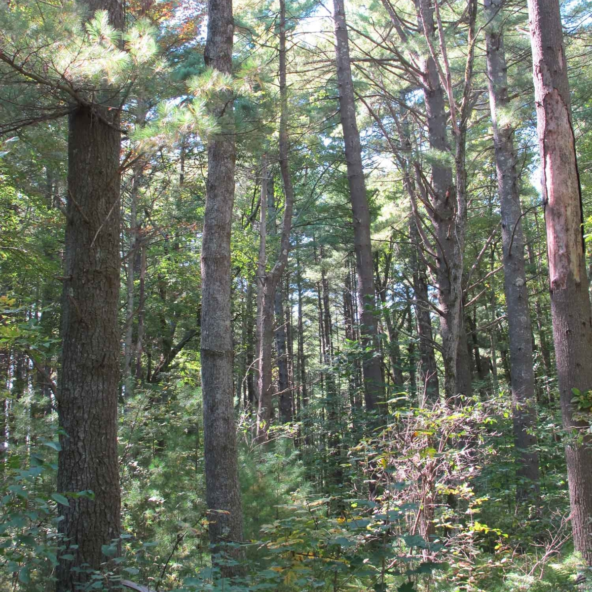 Maturing forest, western Massachusetts