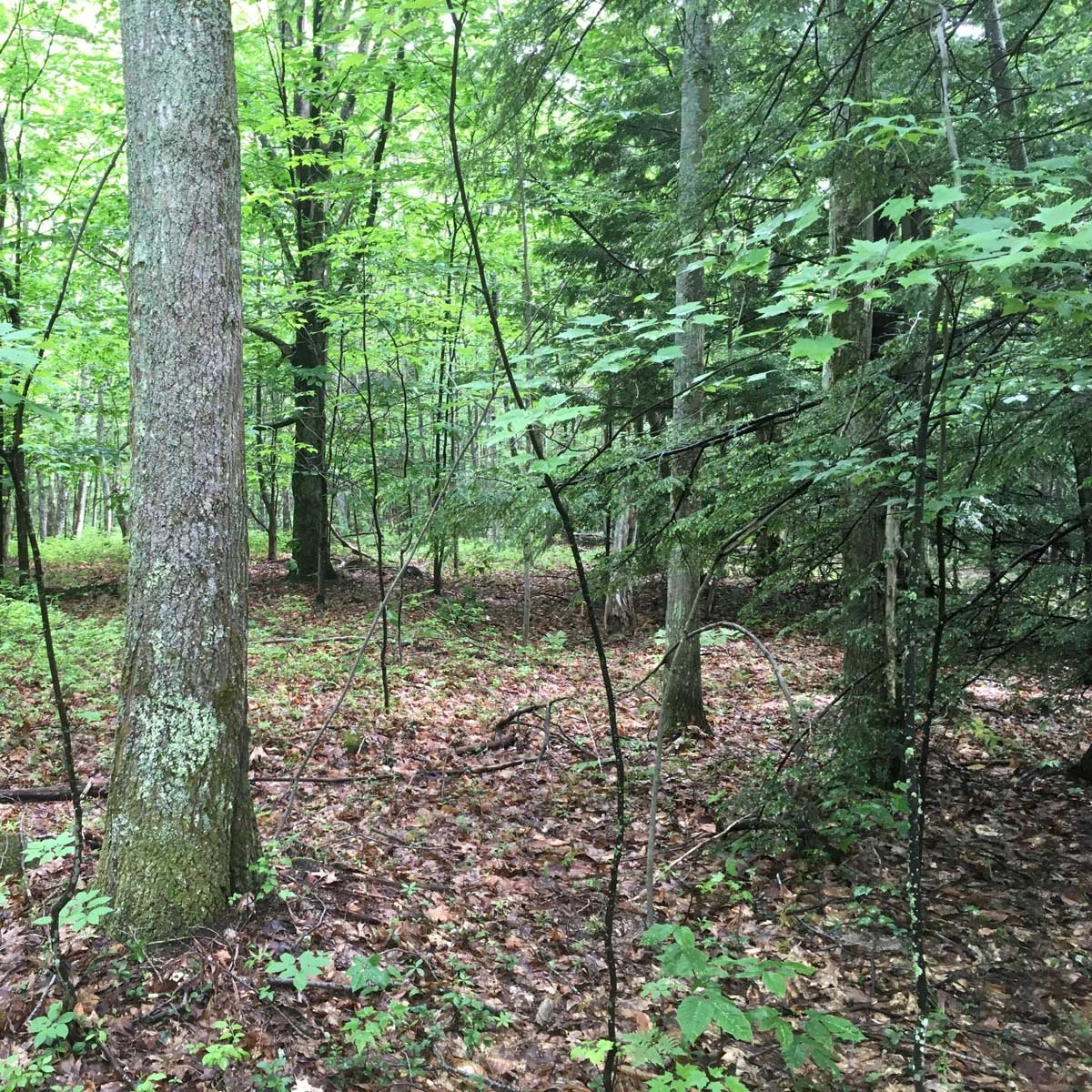 Oak forest, Wendell State Forest