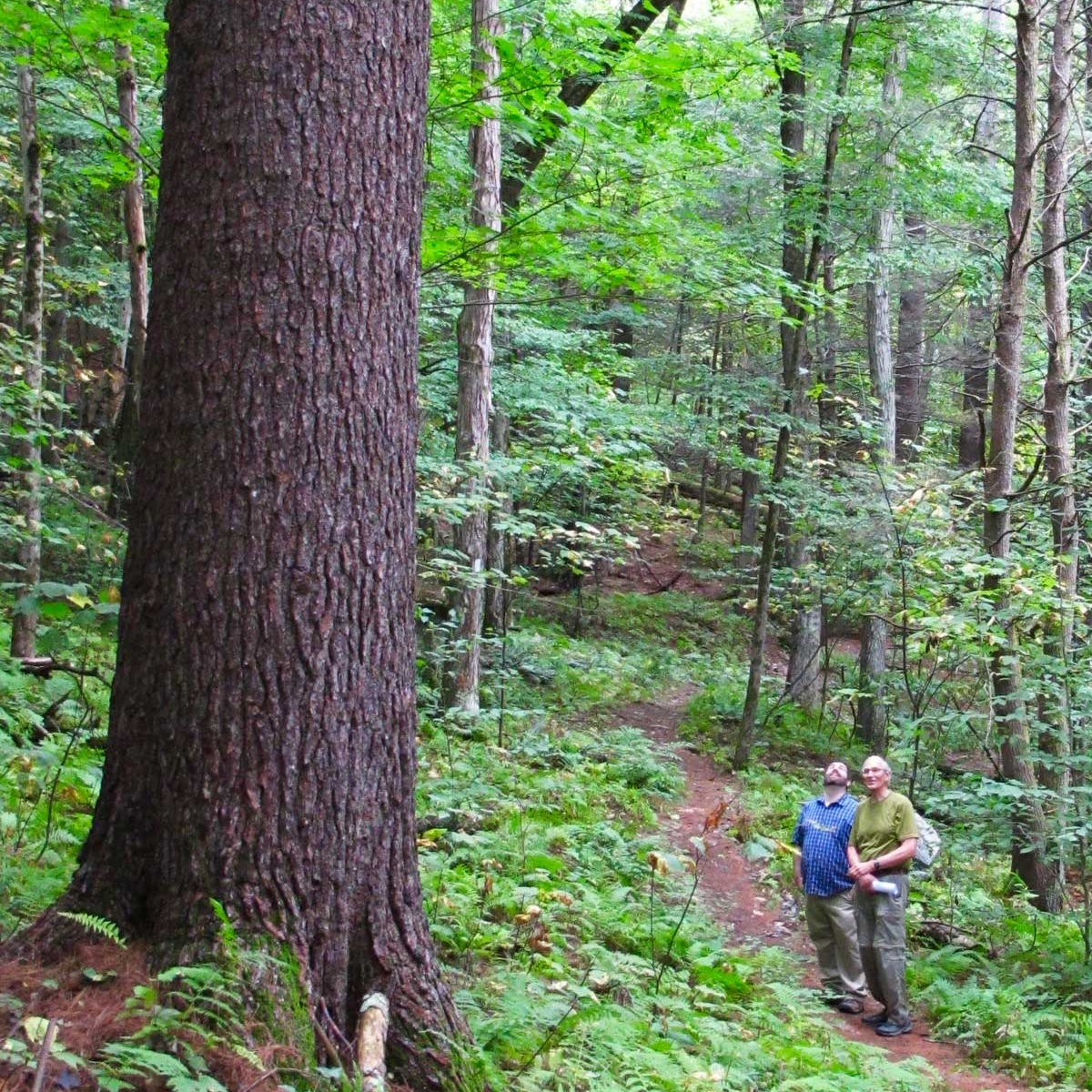 Old-growth white pine, Mohawk Trail State Forest