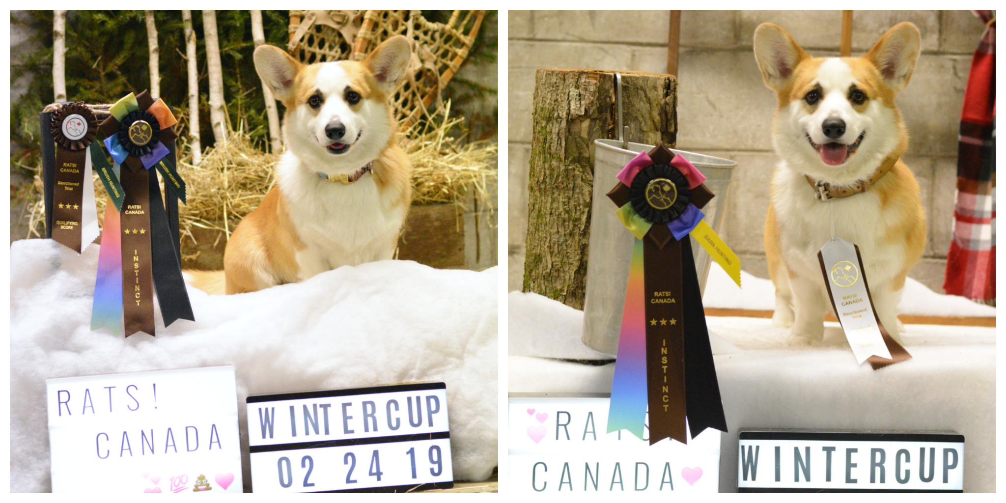 6th place Herding group Novice RATS! CANADA Winter Cup 2018-2019