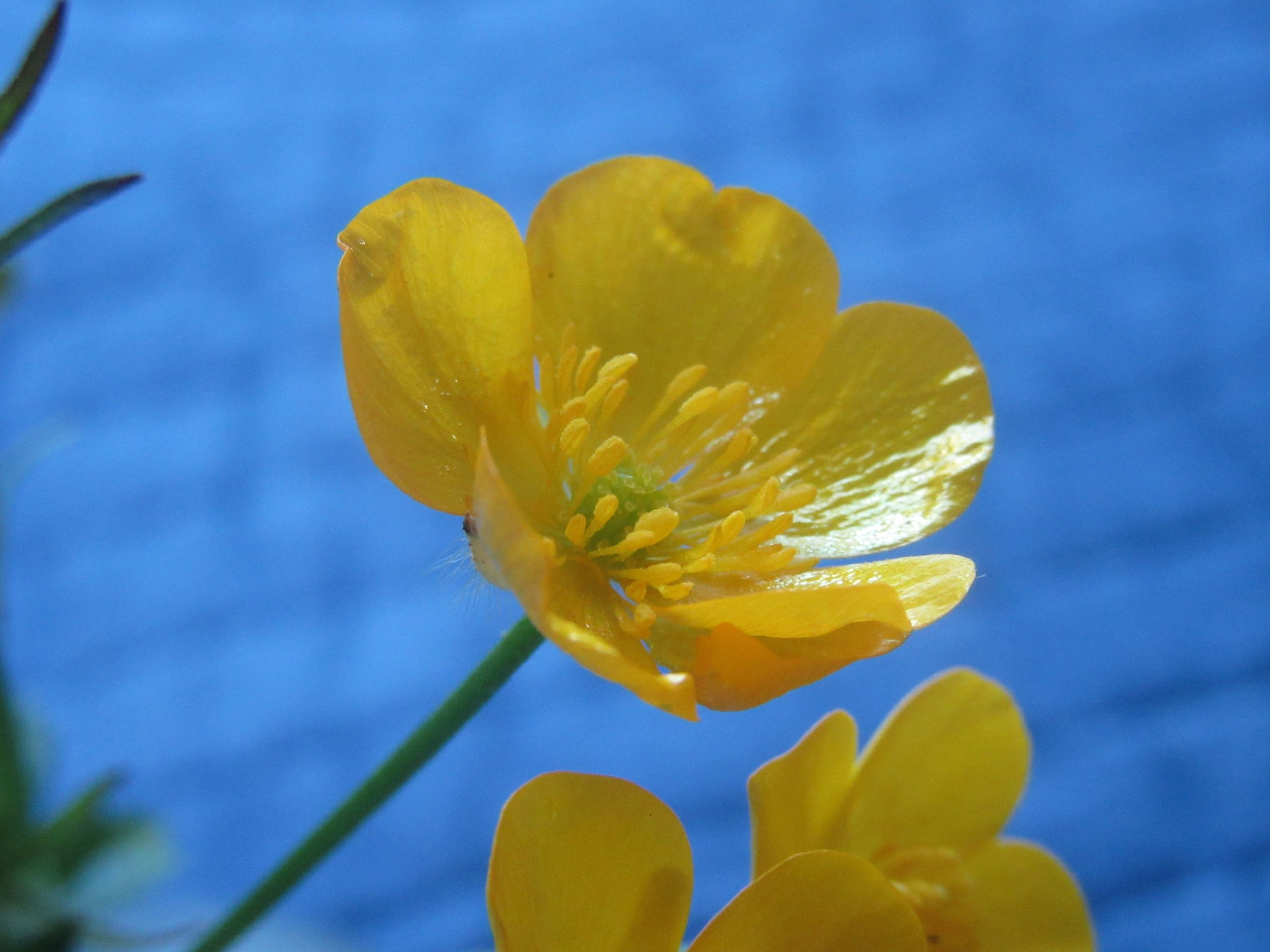 buttercup beauty.jpg
