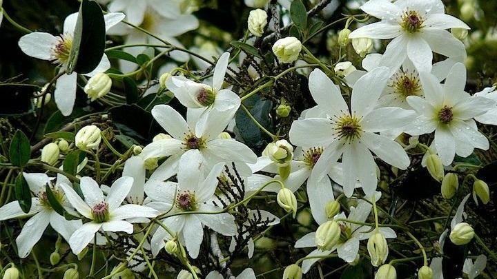 blooming+white+clematisspring.jpg