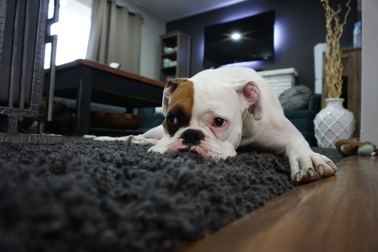 Family pet dog on dark gray shag area rug in nicely decorated living room.