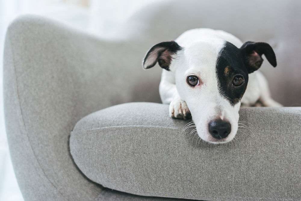 Cute terrier dog on modern gray chair.