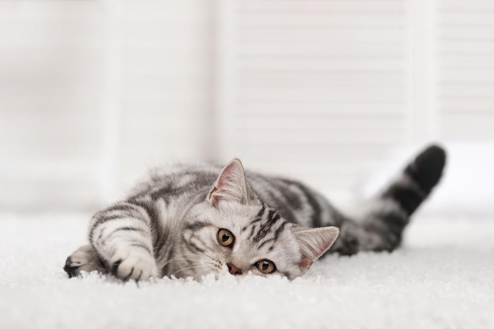 cat-on-carpet-cleaned-natural-organic.jpg