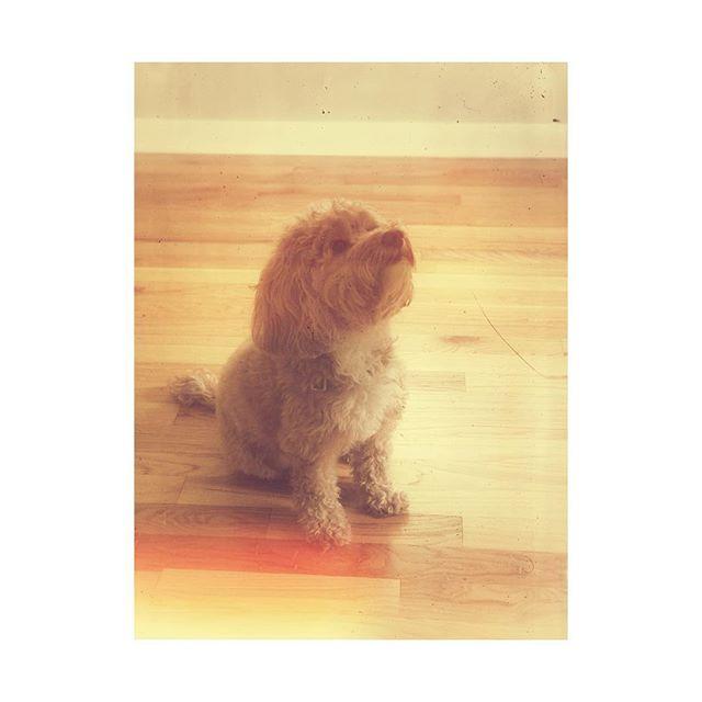 We miss our little doodle! 😍❤️🐶❤️😍 . . . #goldendoodle #stupidcutehenley #goldendoodlesofinstagram