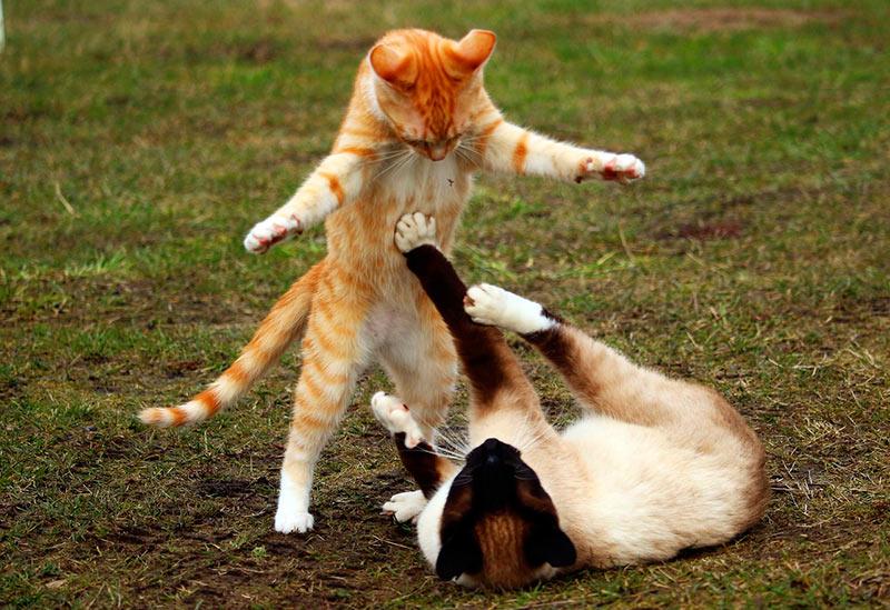 Sonar-con-gatos-peleando.jpg