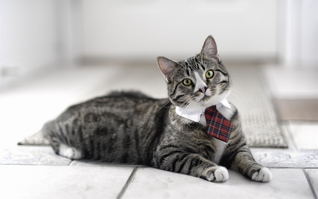 Cat-wearing-a-tie_1280x800.jpg