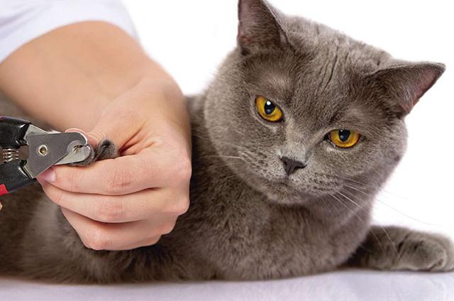 Acostumbra a tu gato a que el veterinario le corte las puntas de sus uñas regularmente.