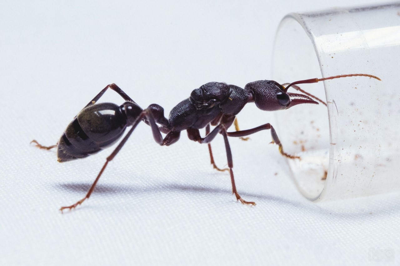 Queen Ant In Southeast Asia. Stock Image - Image of