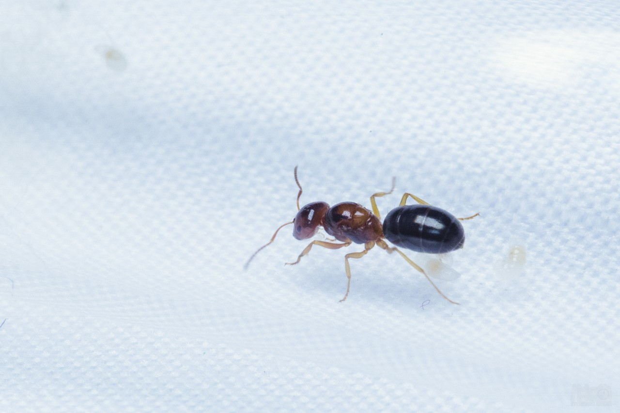 Quick Science: Dracula Ants