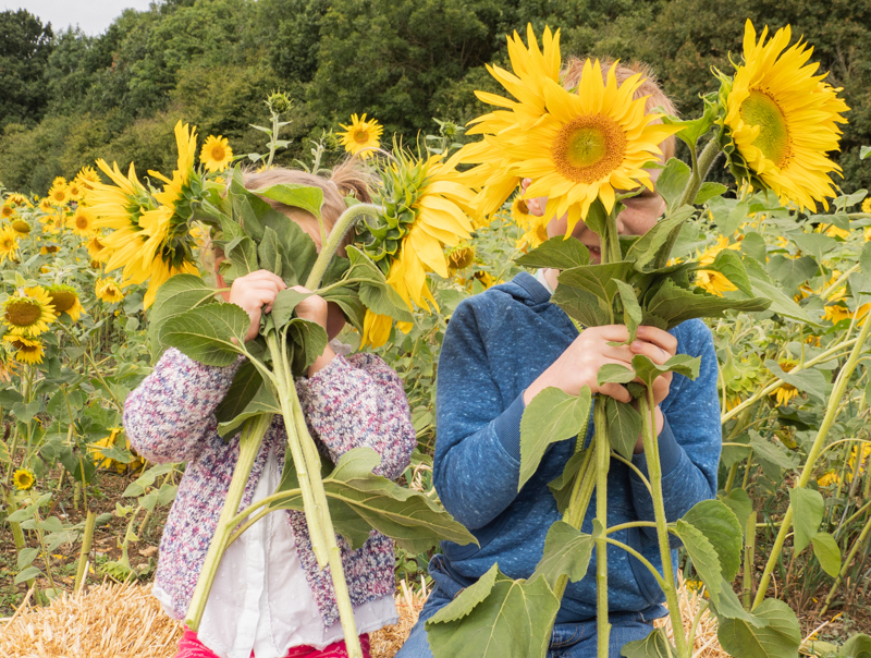 Sunflower Shoot - Click here to book your very own sunflower shoot. Dates available until 28th August.
