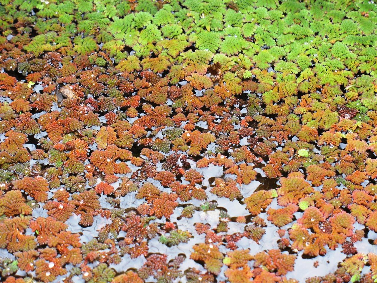 australian_water_plants.jpg
