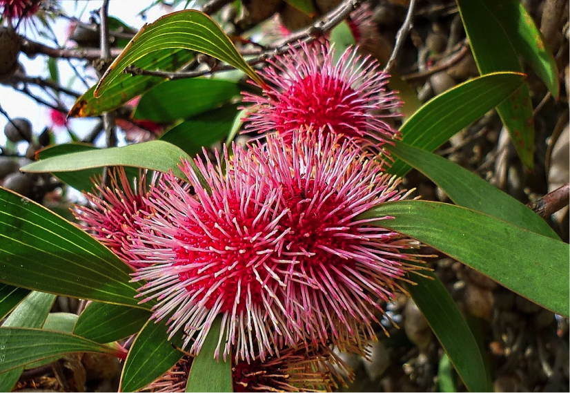 Hakea laurina – Pincushion Hakea is admired for its stunning flowers.