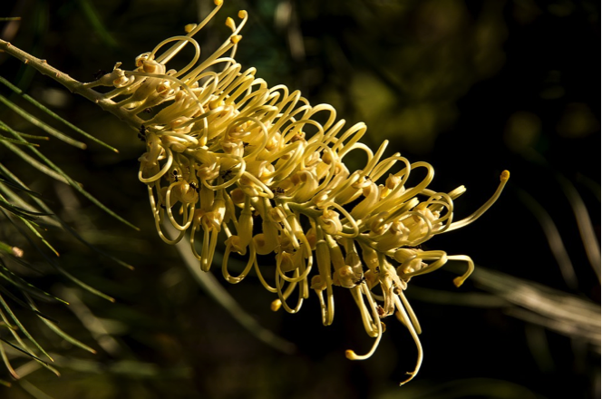 Grevillea Moonlight is one of the best grevilleas….it is tough & adaptable and also flowers all year round, not just through winter.